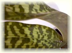 slipper orchid leaf